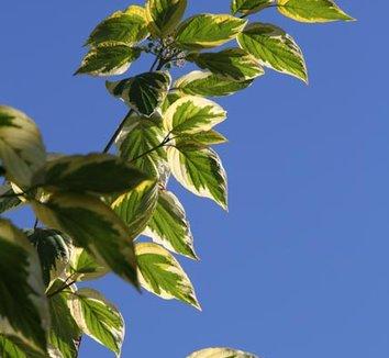 Cornus sericea 'Hedgerow's Gold' 2