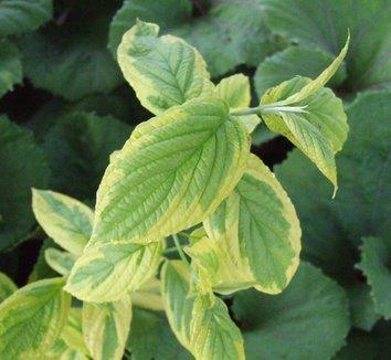 Cornus sericea 'Hedgerow's Gold' 1