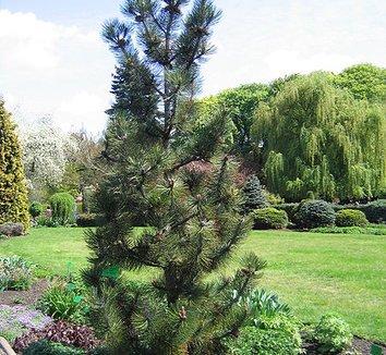 Pinus leucodermis 'Satellit' 7