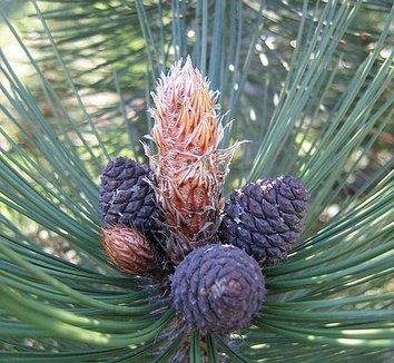 Pinus leucodermis 'Satellit' 8 cones