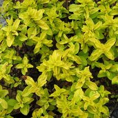 Origanum 'Norton Gold'