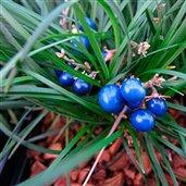Ophiopogon chingii 'Sparkler'