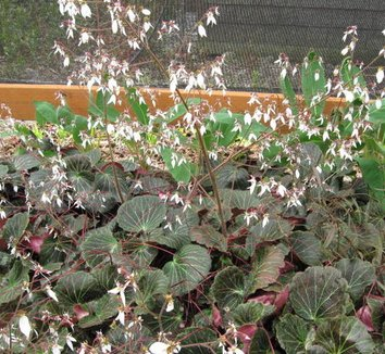 Saxifraga stolonifera 'Maroon Beauty' 1 flower