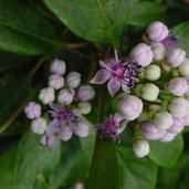 Dichroa versicolor