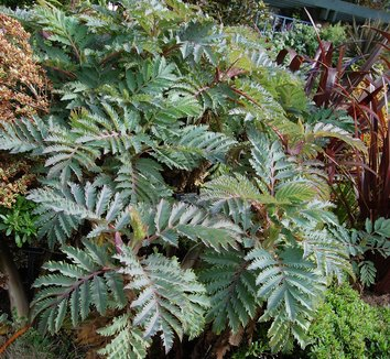Melianthus major 'Purple Haze' 4 form