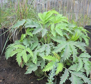 Melianthus major 'Purple Haze' 7