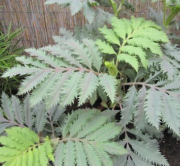 Melianthus major 'Purple Haze' 6