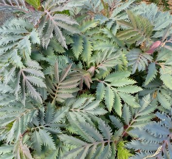 Melianthus major 'Purple Haze' 8