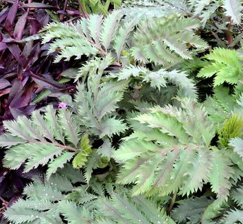 Melianthus major 'Purple Haze' 9