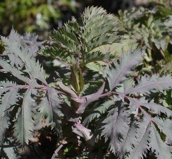 Melianthus major 'Purple Haze' 10