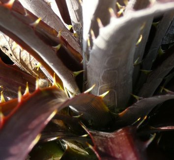 Dyckia 'Burgundy Ice' 8