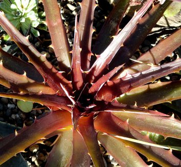 Dyckia 'Burgundy Ice' 14