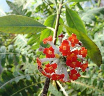 Edgeworthia chrysantha 'Akebono' 8 flower