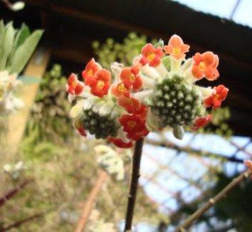 Edgeworthia chrysantha 'Akebono' 9 flower
