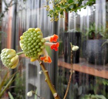 Edgeworthia chrysantha 'Akebono' 14 bud