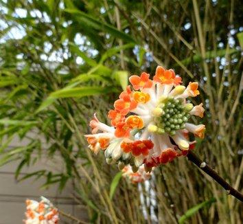 Edgeworthia chrysantha 'Akebono' 15 flower