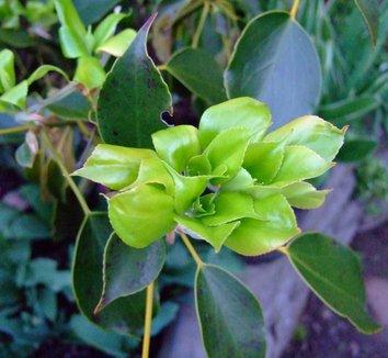 Trochodendron aralioides 19