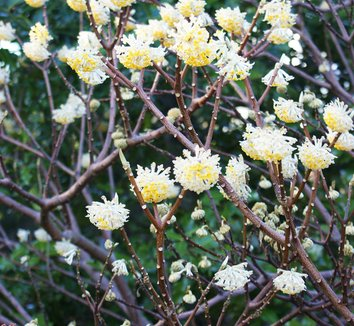 Edgeworthia chrysantha 16 flower