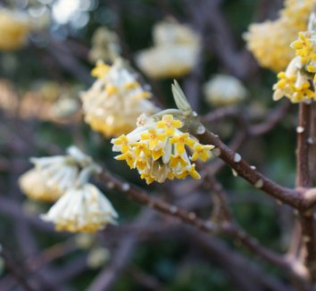 Edgeworthia chrysantha 15 flower