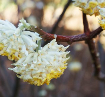 Edgeworthia chrysantha 13 flower