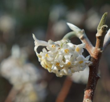 Edgeworthia chrysantha 26 flower