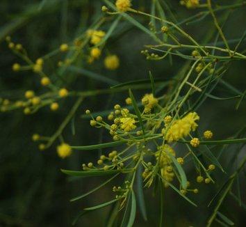 Acacia iteaphylla 1 flower