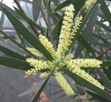 Acacia longifolia 1 flower