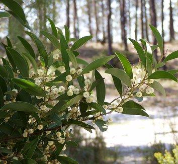 Acacia melanoxylon 2 flower