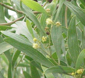 Acacia melanoxylon 4 flower