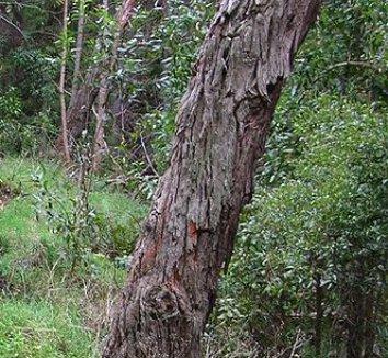 Acacia melanoxylon 6