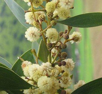 Acacia melanoxylon 7 flower