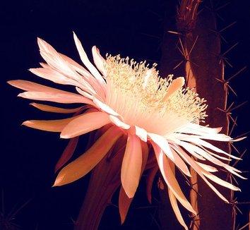 Acanthocereus tetragonus 3 flower