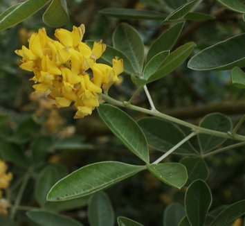 Argyrocytisus battandieri 6 flower