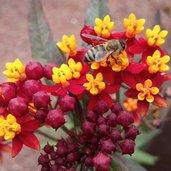 Asclepias curassavica 'Silky Deep Red'