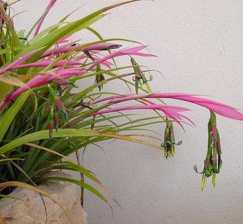 Billbergia nutans 8 flower