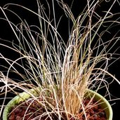 Carex 'Milchoc'
