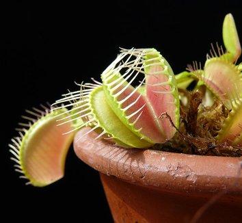 Dionaea muscipula 4