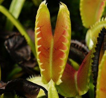 Dionaea muscipula 12