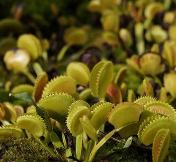 Dionaea muscipula 11