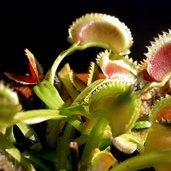 Dionaea muscipula'Dente'