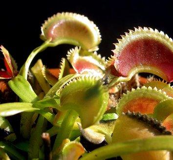Dionaea muscipula'Dente' 1