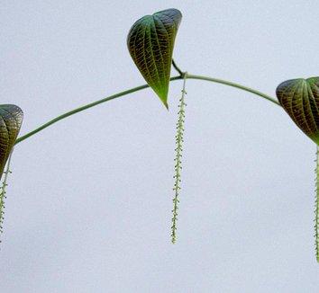 Dioscorea mexicana 10