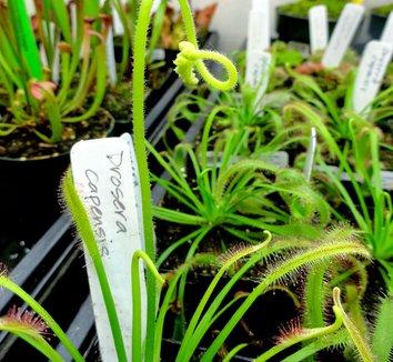 Drosera capensis 1