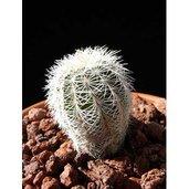 Echinocereus chloranthus v. chloranthus