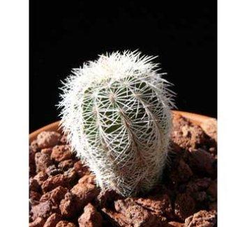 Echinocereus chloranthus v. chloranthus 1 form