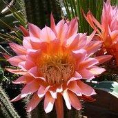Echinocereus grandiflora hybrid