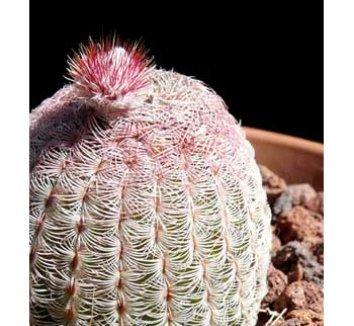 Echinocereus pectinatus v. rubispinus 5