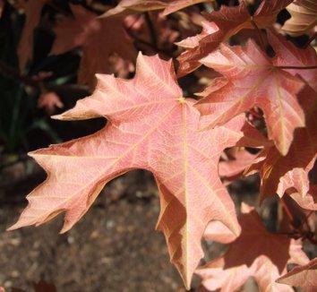 Acer macrophyllum 'Mocha Rose' 9
