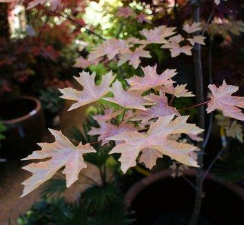 Acer macrophyllum 'Mocha Rose' 1