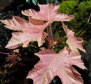 Acer macrophyllum 'Mocha Rose' 10